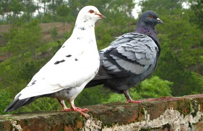 农产品鸽子专题信息