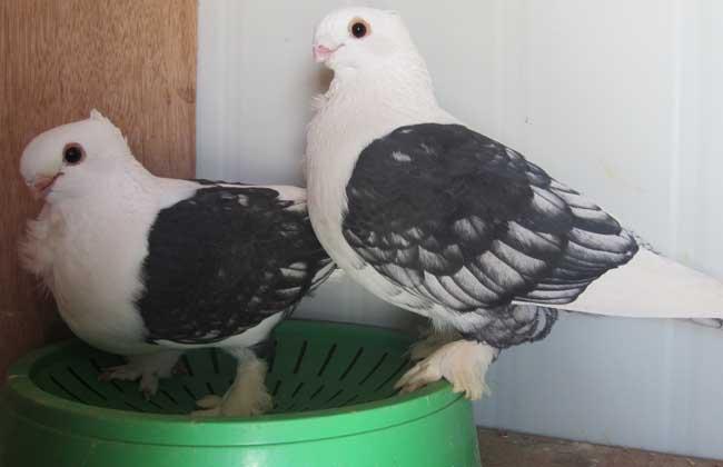 鸽子雌雄鉴别方法