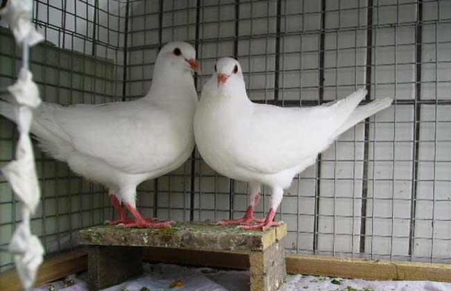 观赏鸽的养殖前景