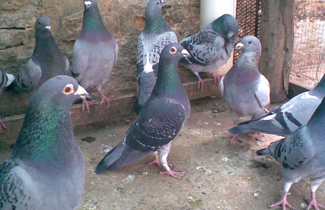 乳鸽养殖技术