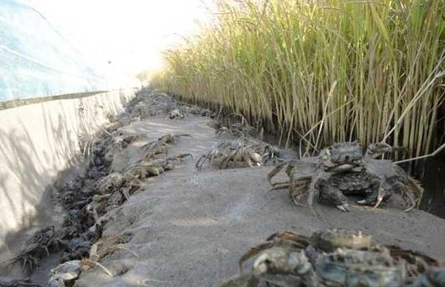 河蟹春季养殖技术