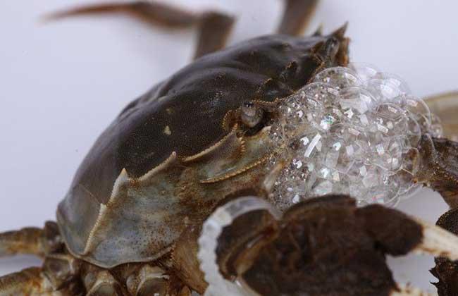 商品大闸蟹的越冬育肥技术