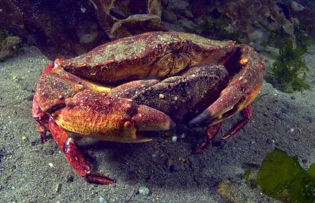 螃蟹常见的养殖方式有哪些
