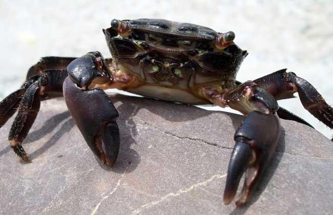 高温季节如何养殖螃蟹