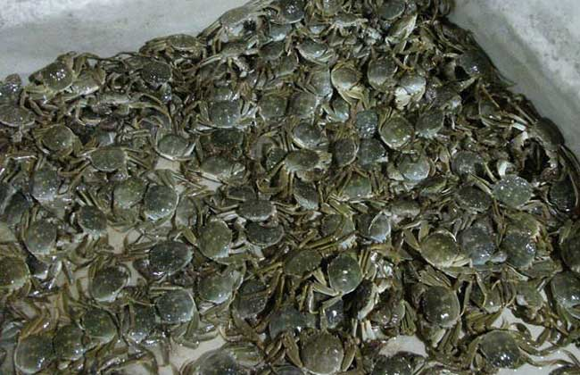 青蟹的生态习性