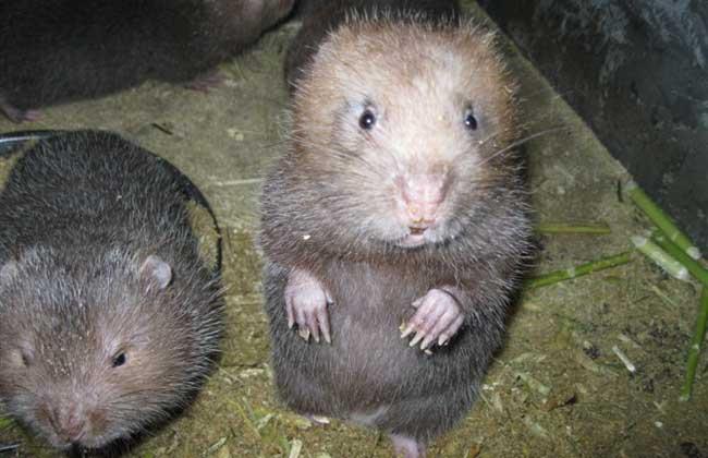 竹鼠养殖常见的十种疾病防治