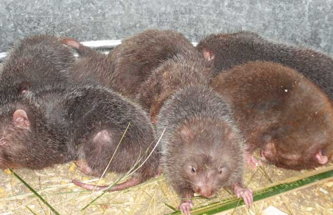 竹鼠养殖场日常工作管理方案