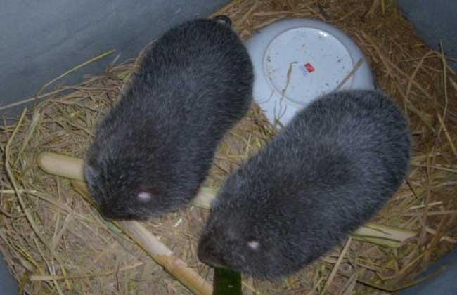 野生竹鼠的驯养技术