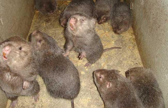 竹鼠应急期的食物注意事项