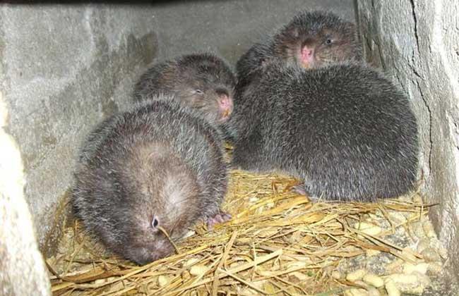 提高竹鼠的繁殖率的方法