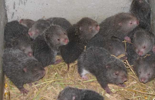 野生竹鼠的捕捉方法