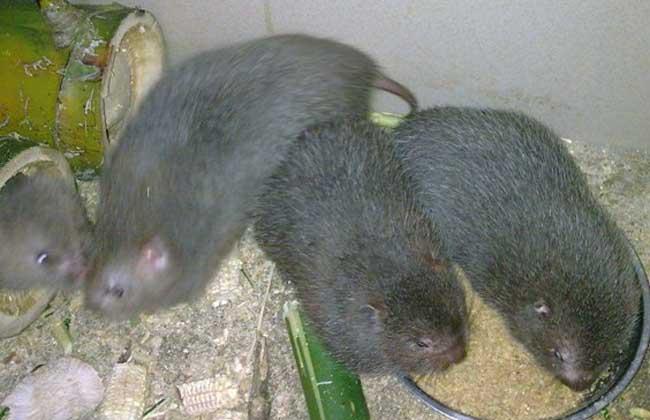 竹鼠的人工养殖技术