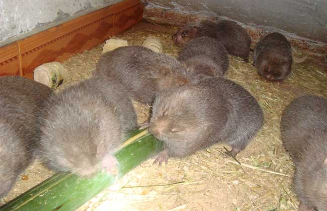 竹鼠的养殖周期