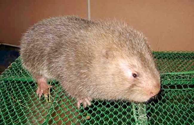 关于异地竹鼠种苗在贵州的适应性问题