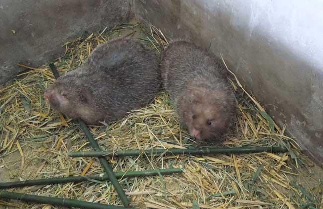 竹鼠如何分窝养殖及分窝的好处