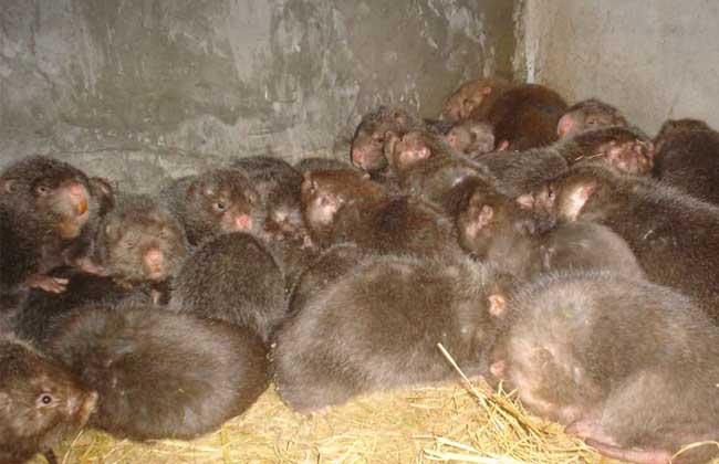 竹鼠舍养殖环境的控制方案