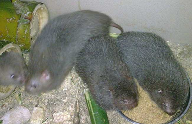 竹鼠感冒治疗方法