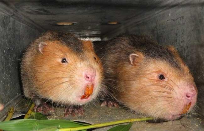 竹鼠的养殖环境控制管理原则
