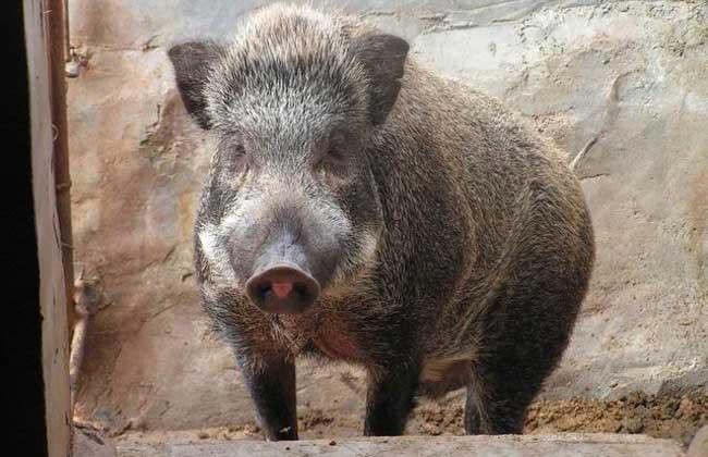 野猪养殖的配种技术