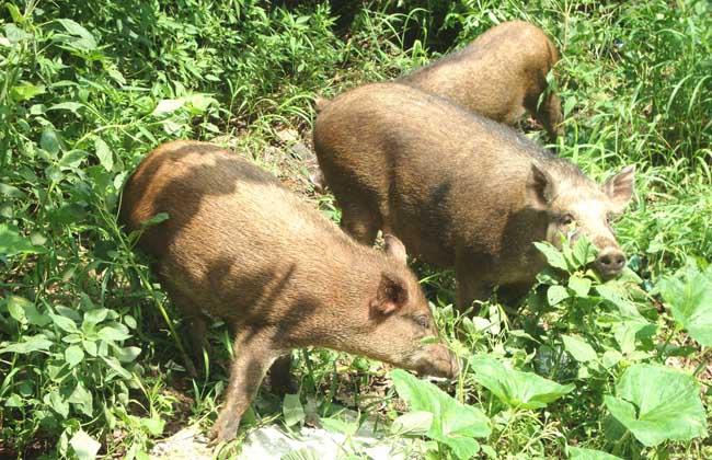 特种野猪青绿饲料的选择技术