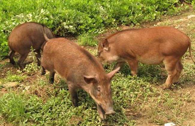真假野猪肉该如何进行辨别