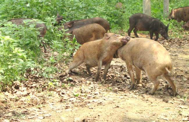 如何选择种用公野猪?