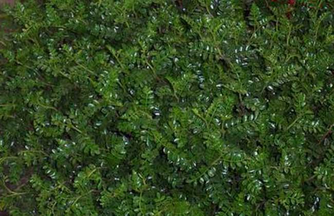 清香木的作用有哪些?