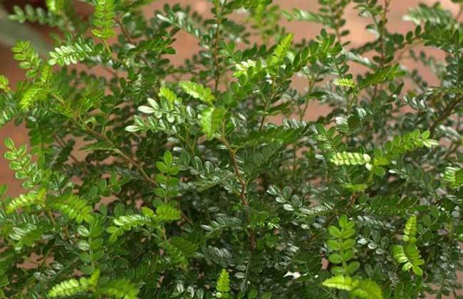 清香木与胡椒木的区别