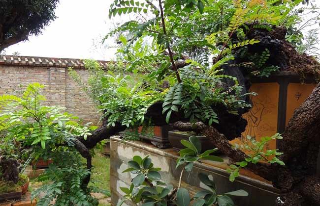 清香木的繁殖方法