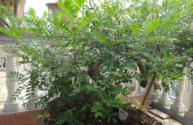 清香木的养殖方法和注意事项