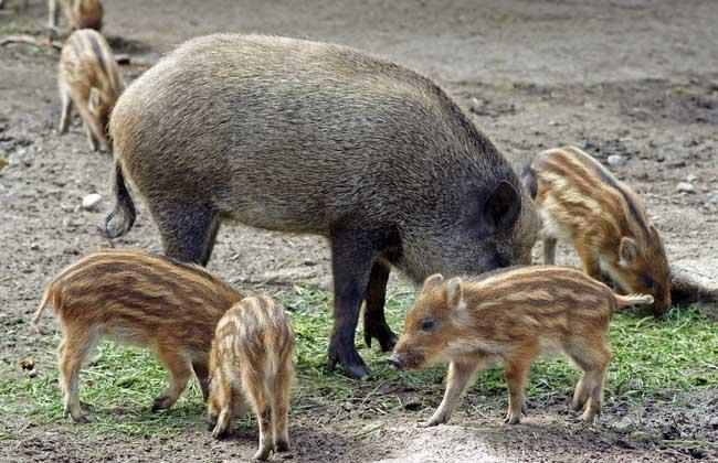 野猪饲喂的营养搭配方案
