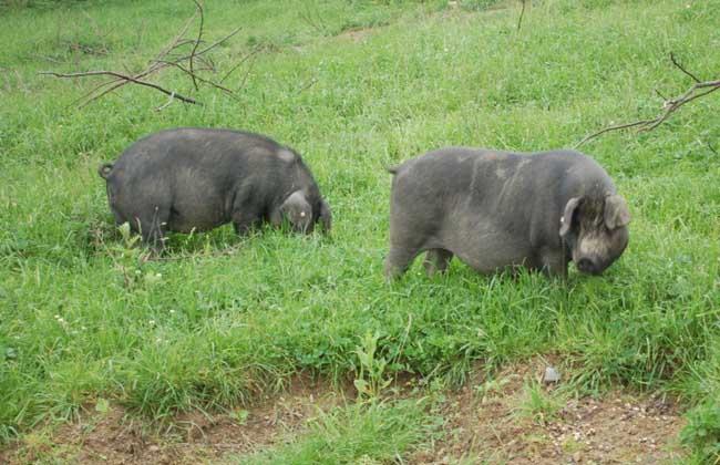 怎样保证野猪品种的品质和纯度