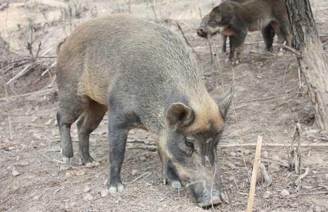 野猪妊娠的判别方式