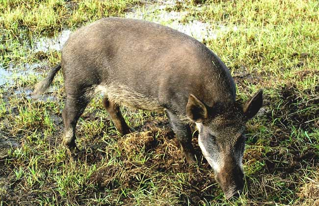 野猪的生活习性与繁殖特性