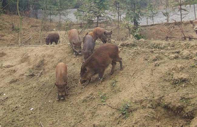 野公猪繁殖力低的原因