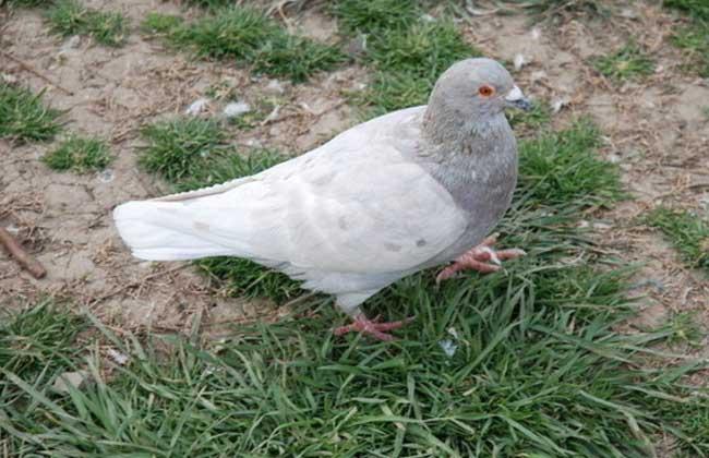 肉鸽冬季养殖的五条保护措施
