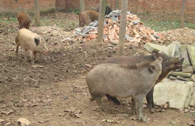 野猪养殖场消毒的几大误区