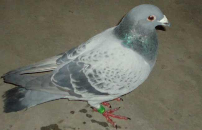 肉鸽养殖的用药注意事项