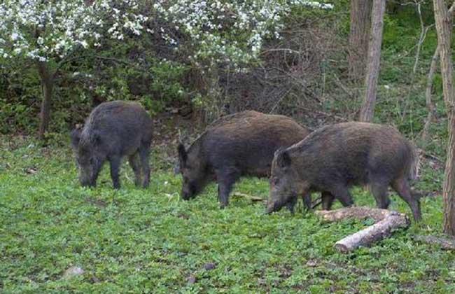 野猪养殖的可行性