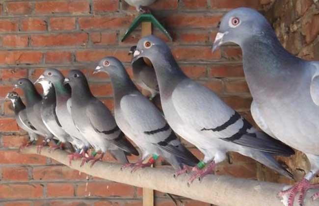 肉鸽如何进行大规模立体笼养