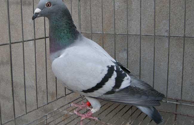 肉鸽养殖的前期准备工作