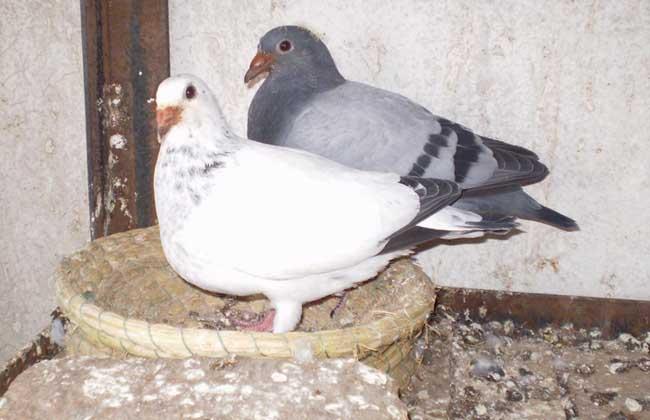 肉鸽养殖管理的基本知识