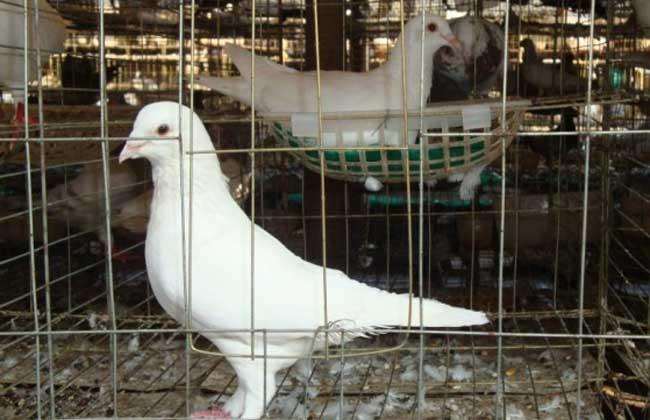 白羽王鸽高产养殖技术