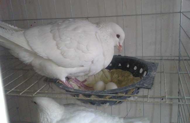 白羽王鸽的养殖特点