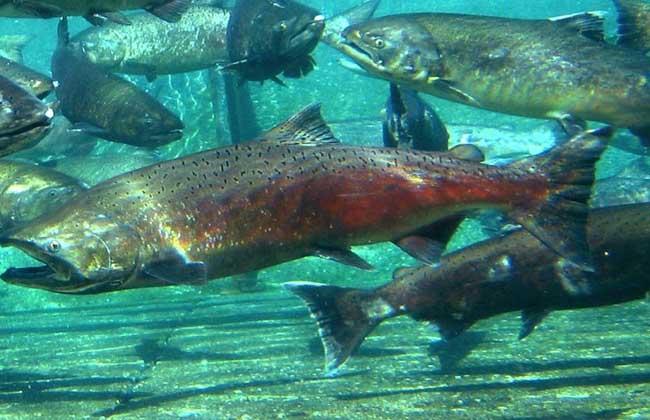 三文鱼的养殖技术