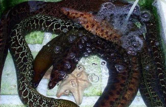 鳗鱼养殖技术