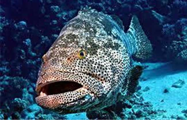 石斑鱼养殖技术