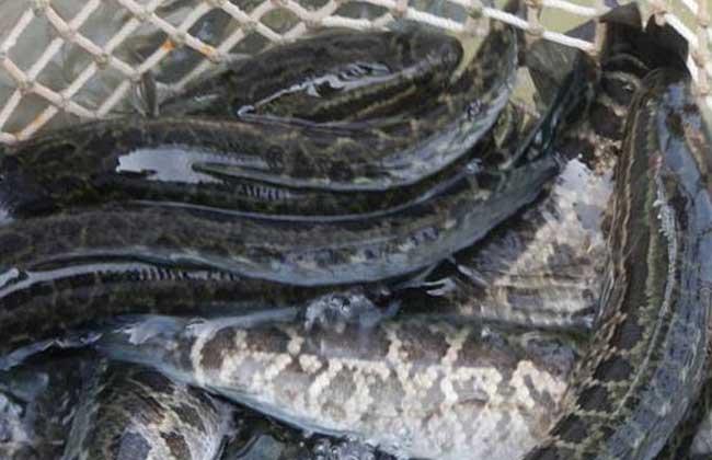 黑鱼养殖技术及养殖技术视频