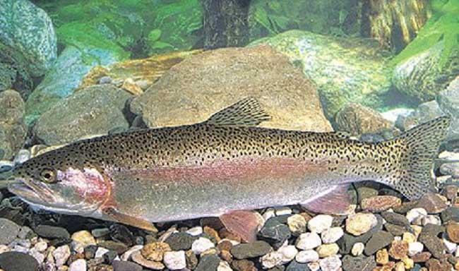 池塘养鱼技术_鱼类养殖_鸭嘴鱼养殖