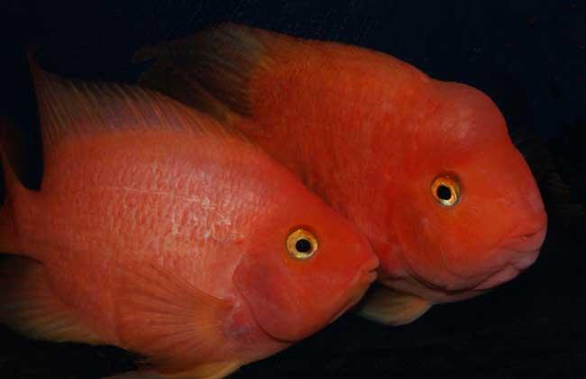 鹦鹉鱼的繁殖方法